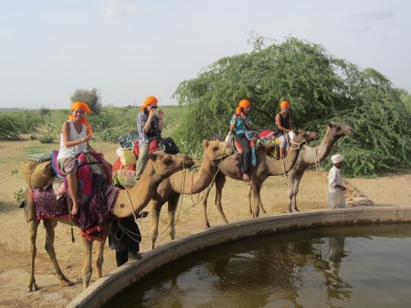 camels, camel safari, desert safari, jaisalmer, rajasthan, india