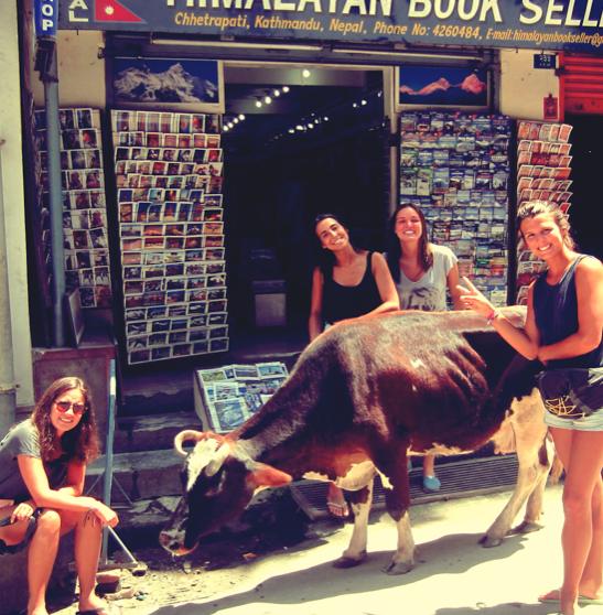 kathmandu, nepal, cows hinduism, holy cow, asia