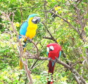 parrot, lory, macaw, bird species, types of birds, brazilian birds, brazil, estado de minas gerais