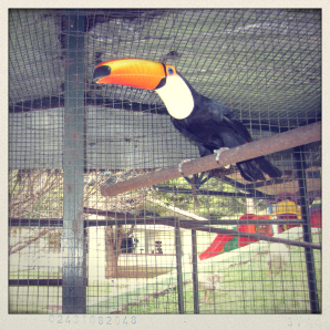 brazil, bird species, toucan, blue eyed toucan, minas gerais