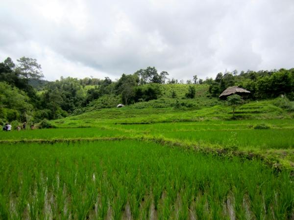 chiang mai, jungle trekking, 2 day trekking in thaliand, north thailand, rice padis, rice fields